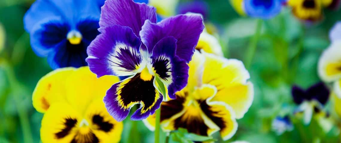 Pansies-Header