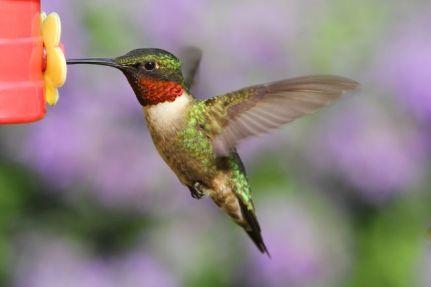 ruby-throated-hummingbird-male.jpg.653x0_q80_crop-smart