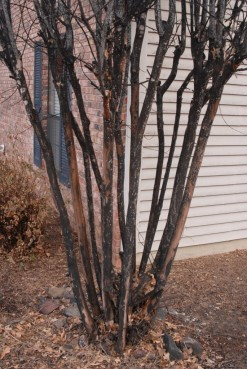 Crapemyrtle-Bark-Scale-sooty-mold-685x1024