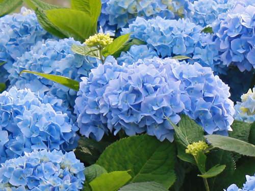 endle summer blue hydrangea
