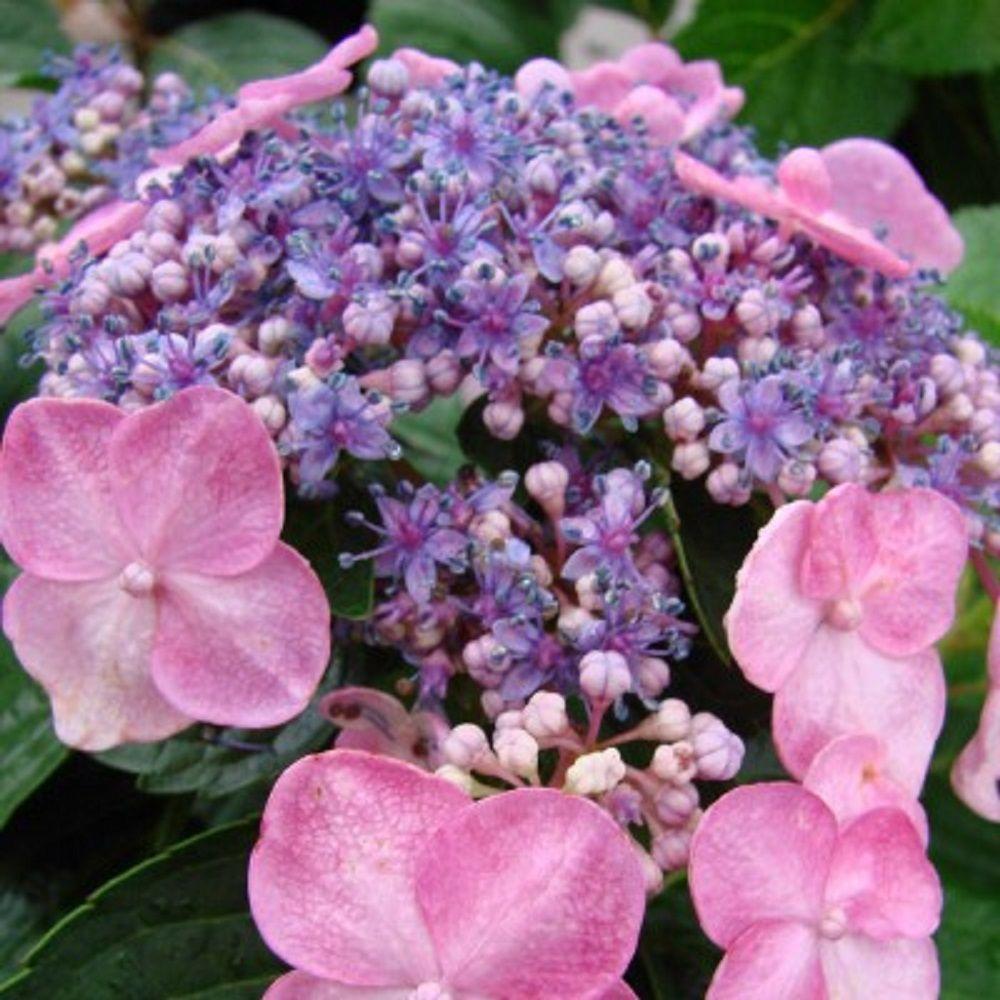 endless-summer-shrubs-2634b3-64_1000