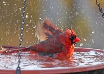 cardinalinabirdbath.jpg