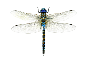Dragonfly-PNG-High-Quality-Image