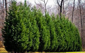 leyland-cypress-5
