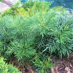 soft-caress-mahonia-full-bush-600x600_1