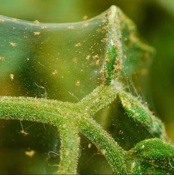 spidermites.PNG