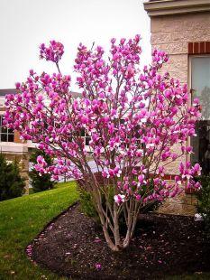tulipmagnolia