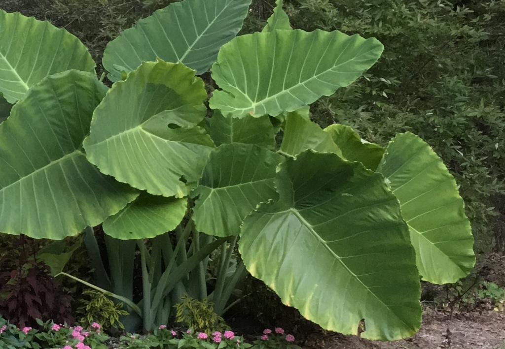 Overwintering Elephant Ears And Banana Trees